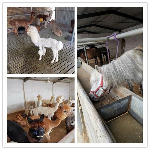 肥城市哪里地区有卖羊驼的