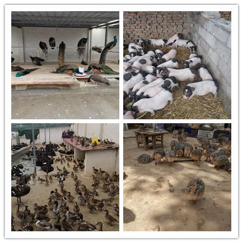 寿宁县附近卖鸵鸟苗的养殖场