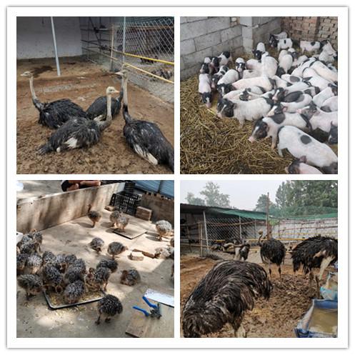 沾化县附近哪里有出售蓝孔雀苗的