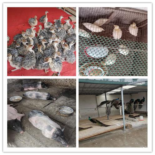 黄石市周边出售黑天鹅的养殖场