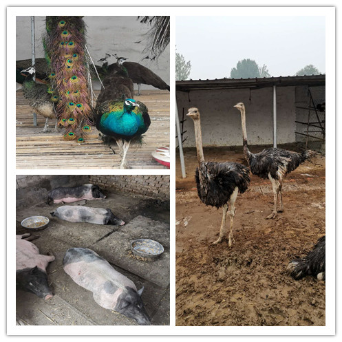 信阳市羊驼养殖基地