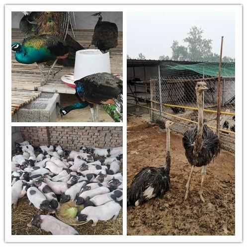 太康县哪里有卖巴马香猪孔雀的