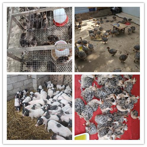 富德市哪里有卖鸵鸟苗的养殖场
