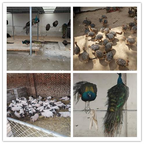 高要市附近卖孔雀苗的养殖场
