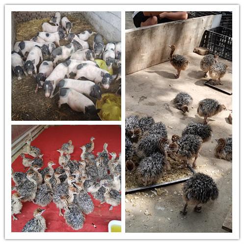 珙县什么地方有出售鸵鸟苗的