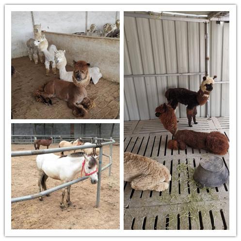 偃师市哪里地区有卖羊驼的