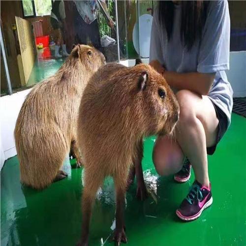浏阳市羊驼斑马展览出租