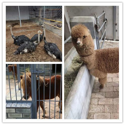 甘肃哪里有卖羊驼养殖基地的