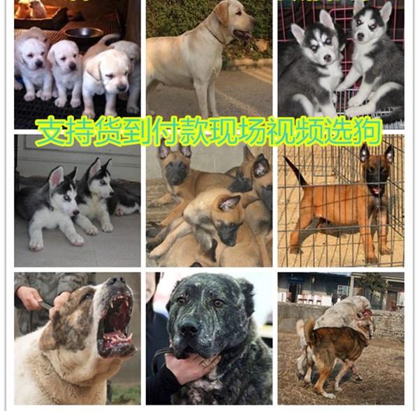 灌云县场,幼犬出售批发报价
