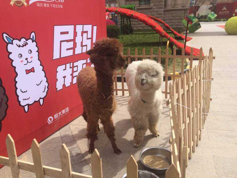 临沧耿马傣族佤族自治县羊驼萌宠展览租赁