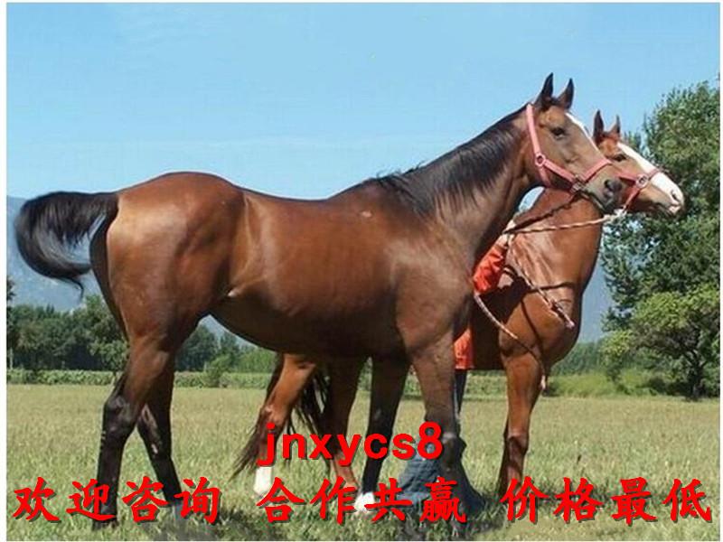 景区游客骑乘马养殖厂家出售联系电话