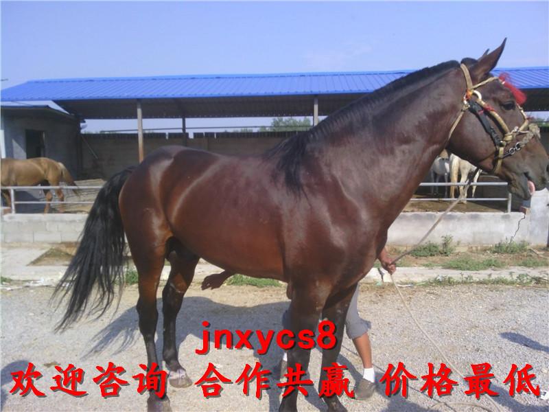 骑乘马价格养殖场出售联系电话