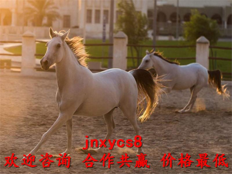 汗血宝马骑乘马多少钱一匹养殖厂家出售联系电话