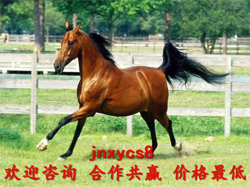 半血马骑乘马养殖场出售联系方式