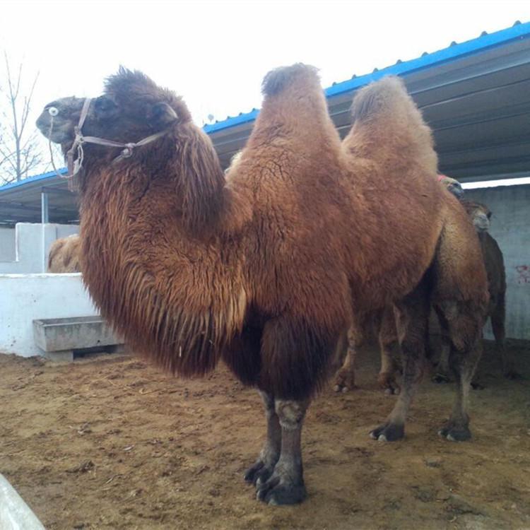 羊驼活体萌宠展欢迎来电山西省