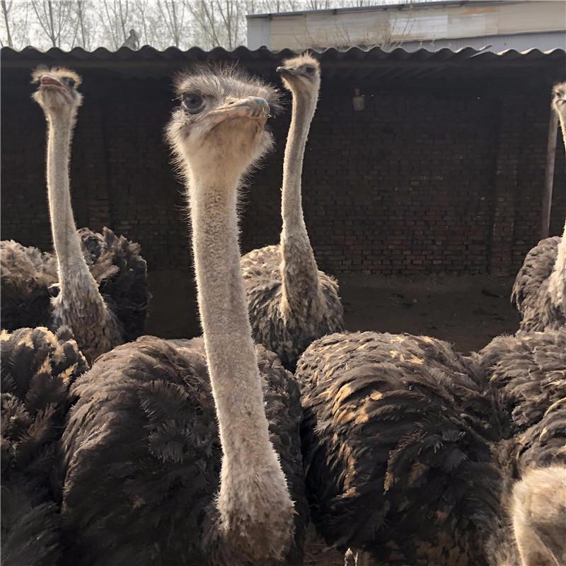 巧家县梅花鹿活体幼崽萌宠羊驼动物出租租赁欢迎选购