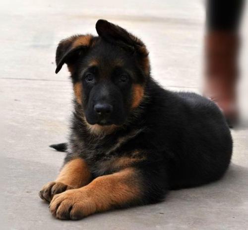 宝山区场联系,幼犬出售价格