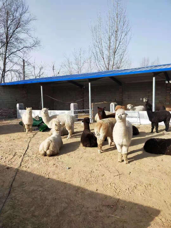 邯郸县矮马羊驼价格欢迎来电